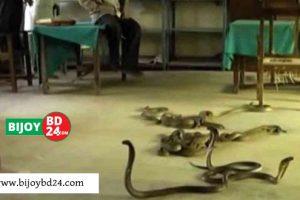 স্কুলজুড়ে আতংক : ক্লাস রুমে বেরিয়ে এলো ৬০টি বিষধর সাপ!