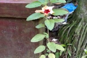 দুর্গাপূজার মহাপঞ্চমীতে অলৌকিক ঘটনা : তুলসী গাছে জবা ফুল!