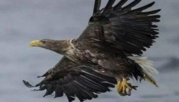 ২৪০ বছর পর দেখা মিলল বিরল উড়ন্ত শিকারি পাখির